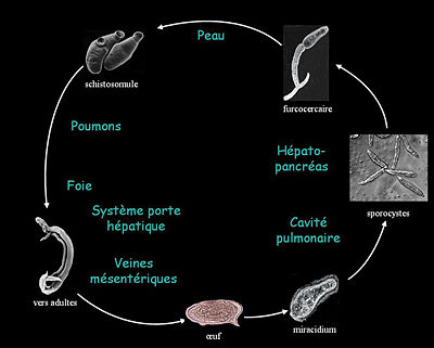 Shistosomose : cycle parasitaire